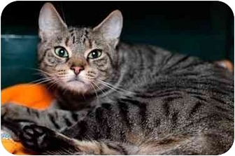 Domestic Shorthair Cat for adoption in Westbrook, Maine - Ivy