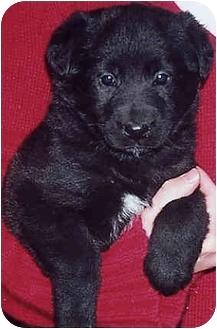 German Shepherd Dog Mix Puppy for adoption in Owatonna, Minnesota - Chrissy