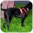 Photo 2 - Border Collie/Labrador Retriever Mix Dog for adoption in Sacramento, California - Einstein smart pup