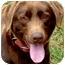 Photo 1 - Labrador Retriever Dog for adoption in Pawling, New York - HERSHEY