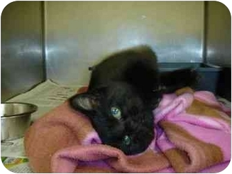Bombay Kitten for adoption in Farmington, Michigan - Bast
