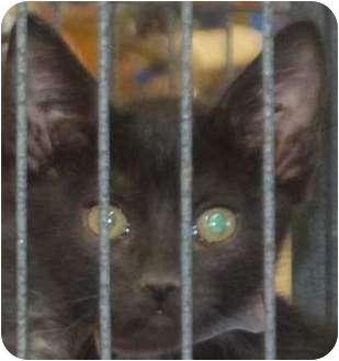 Domestic Shorthair Kitten for adoption in Muskogee, Oklahoma - Mason