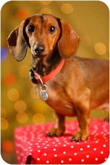 Dachshund Dog for adoption in Portland, Oregon - Lou