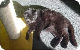 Bombay Cat for adoption in Franklin, North Carolina - Higgins