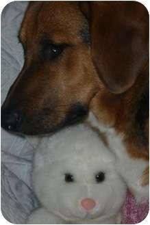 Beagle/Basset Hound Mix Puppy for adoption in Somerset, Pennsylvania - Sugar
