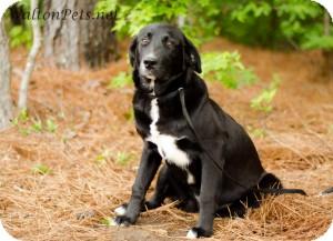 Flat-Coated Retriever/Border Collie Mix Dog for adoption in Alpharetta, Georgia - Jackson