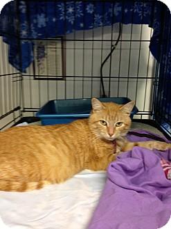 Domestic Shorthair Cat for adoption in Aiken, South Carolina - Nala