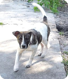 Jack Russell Terrier Mix Puppy for adoption in Ormond Beach, Florida - Laverne