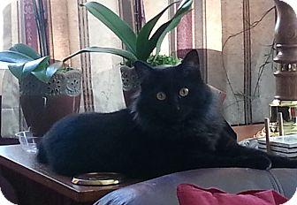 Domestic Longhair Cat for adoption in Roslyn, Washington - Stella