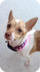 Chihuahua Mix Dog for adoption in Las Vegas, Nevada - Trixie