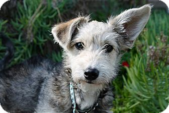 Schnauzer (Miniature)/Poodle (Miniature) Mix Puppy for adoption in Los Angeles, California - Monica