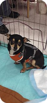 Chihuahua/Miniature Pinscher Mix Dog for adoption in Seattle, Washington - Niko