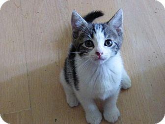 Domestic Shorthair Kitten for adoption in Hamilton, New Jersey - ROSIE - 2014