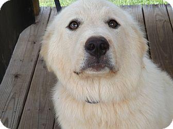 Great Pyrenees Dog for adoption in Thomaston, Georgia - Bella
