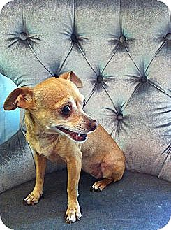 Chihuahua Dog for adoption in Los Angeles, California - Miss Molly