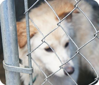 Husky Mix Dog for adoption in Henderson, North Carolina - Nova