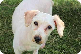 Poodle (Miniature)/Bichon Frise Mix Dog for adoption in College Station, Texas - Willie (13 pounds)