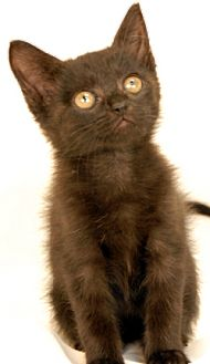 Domestic Shorthair Kitten for adoption in Newland, North Carolina - Bobby Socks