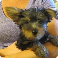 Adopt A Pet :: Lyle - Salem, NH