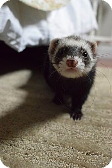 Ferret for adoption in Fawn Grove, Pennsylvania - Paco