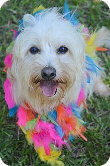 Havanese/Bichon Frise Mix Dog for adoption in Glastonbury, Connecticut - Carmen