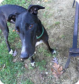 Greyhound Dog for adoption in Swanzey, New Hampshire - Flash