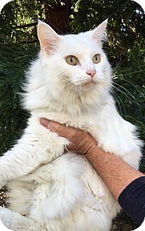 Domestic Longhair Cat for adoption in Oakdale, California - Powder