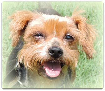 Yorkie, Yorkshire Terrier Mix Dog for adoption in Anderson, South Carolina - Alexa