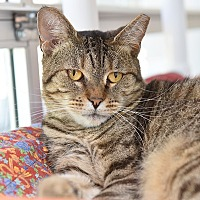 Domestic Shorthair Cat for adoption in Wilmington, Delaware - Zooy