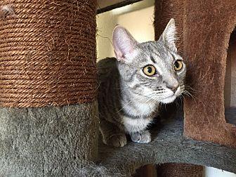 Domestic Shorthair Cat for adoption in Santa Ana, California - Quaid