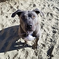 Adopt A Pet :: Yogi - Palm Springs, CA