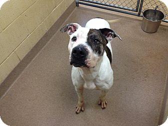 Pit Bull Terrier Mix Dog for adoption in Triadelphia, West Virginia - 1-2 Gia