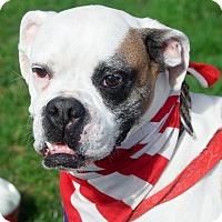 Adopt A Pet :: Thor cutest boxer - Sacramento, CA