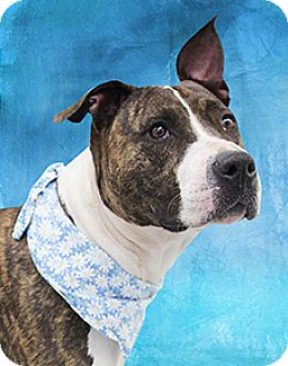 American Pit Bull Terrier Mix Dog for adoption in Cincinnati, Ohio - Ruie