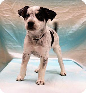 Australian Shepherd/Great Dane Mix Puppy for adoption in Hagerstown, Maryland - Oreo
