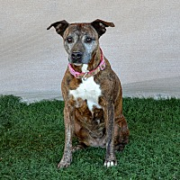 Adopt A Pet :: Darla (bonded with Bear) - Palm Springs, CA