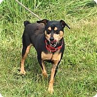 Adopt A Pet :: Harley - Painted Post, NY