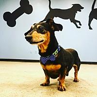 Adopt A Pet :: Spicy - Overland PArk, KS
