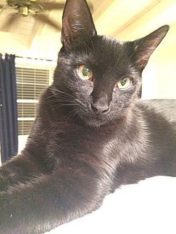 Domestic Shorthair Cat for adoption in Lakeland, Florida - Beau