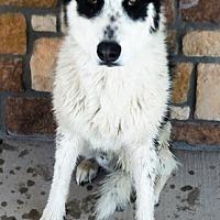 Adopt A Pet :: Koda - Cedar Crest, NM