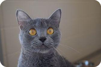 Domestic Shorthair Cat for adoption in Joplin, Missouri - Jewel 112020