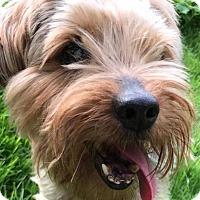 Adopt A Pet :: Bingo - Whitestone, NY