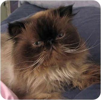 Himalayan Cat for adoption in Davis, California - Mani