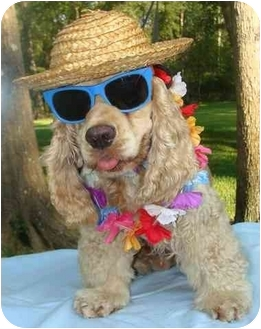 Cocker Spaniel Dog for adoption in Sugarland, Texas - Blitz