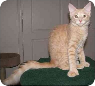 Hemingway/Polydactyl Kitten for adoption in Mesa, Arizona - Gobi