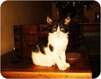 Domestic Shorthair Kitten for adoption in Modesto, California - Mulan