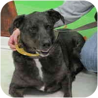 Labrador Retriever Mix Dog for adoption in Denver, Colorado - Wellington