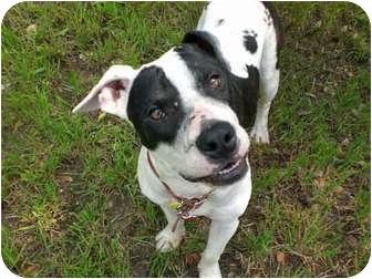 American Pit Bull Terrier/Boston Terrier Mix Dog for adoption in Austin, Texas - Steve