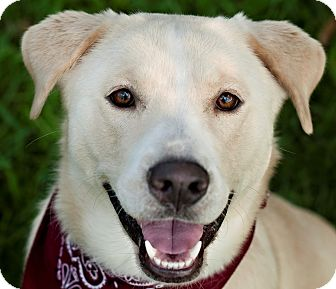 Labrador Retriever Mix Dog for adoption in Portsmouth, Rhode Island - Sugar- local!