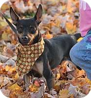 Miniature Pinscher Dog for adoption in Syracuse, New York - Toby